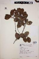 Image of Chamaecrista apoucouita