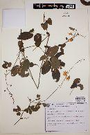 Image of Chamaecrista carobinha