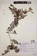 Image of Chamaecrista potentilla