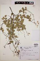 Image of Chamaecrista zygophylloides