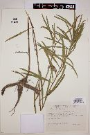 Image of Clitoria epetiolata