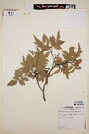 Rhus virens var. choriophylla image
