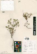 Image of Hedyotis spellenbergii