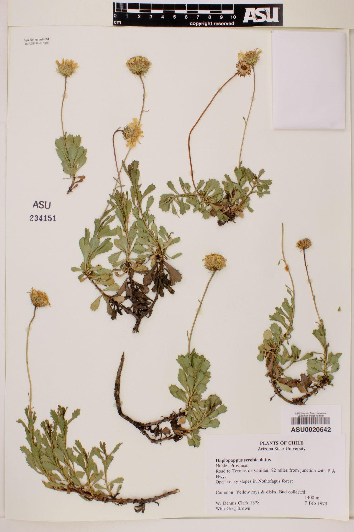 Haplopappus scrobiculatus image