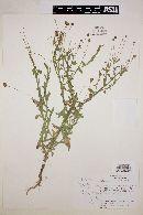 Helenium thurberi image