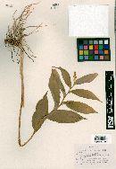 Image of Maianthemum mexicanum