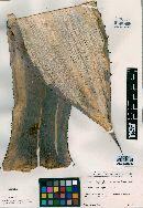 Agave asperrima subsp. zarcensis image