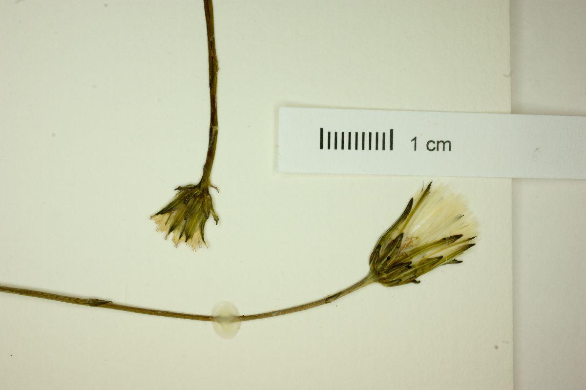 Hypochaeris image