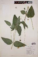 Lasianthaea podocephala image