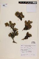 Azorella trifurcata image