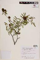 Caesalpinia paraguariensis image