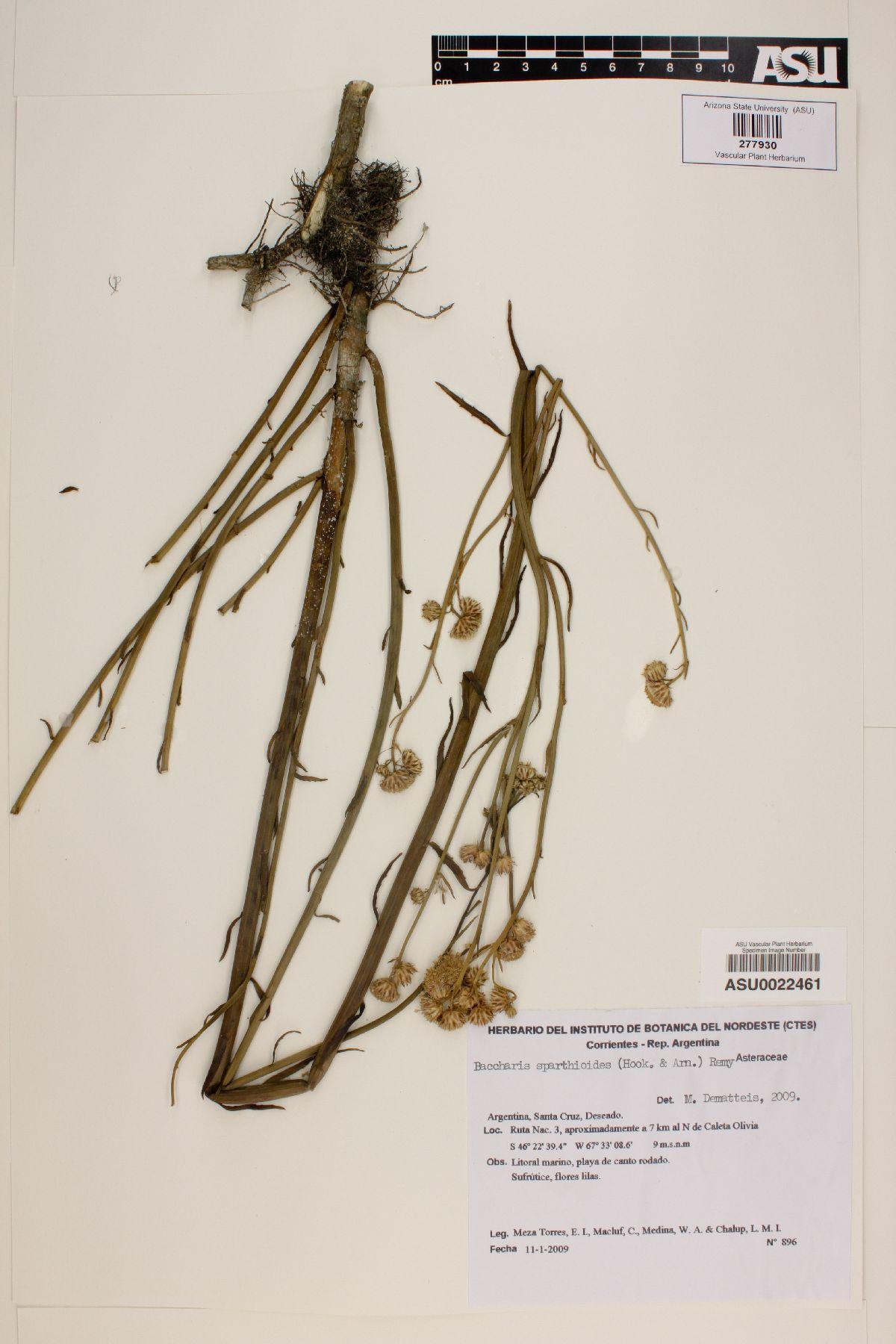 Baccharis spartioides image