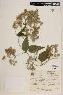 Mikania argyreiae image