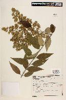 Image of Mikania buddleiaefolia