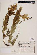 Image of Mikania oblongifolia