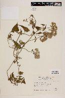 Image of Mikania periplocifolia