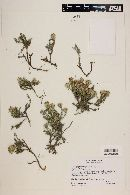 Image of Nardophyllum bryoides