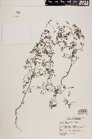 Lotus chihuahuanus image
