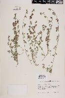 Lotus nevadensis image