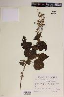 Image of Wissadula gymnanthemum