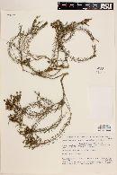 Image of Cliococca selaginoides