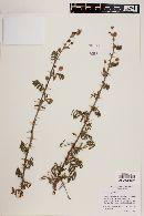 Image of Mimosa aspera