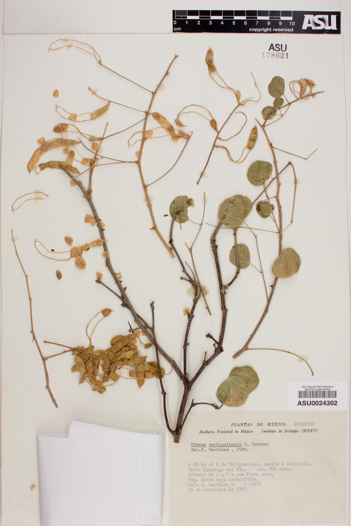 Mimosa xochipalensis image