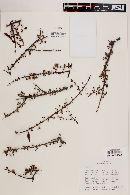 Image of Mimosa imbricata