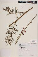 Image of Mimosa callidryas