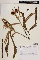 Image of Mimosa callithrix