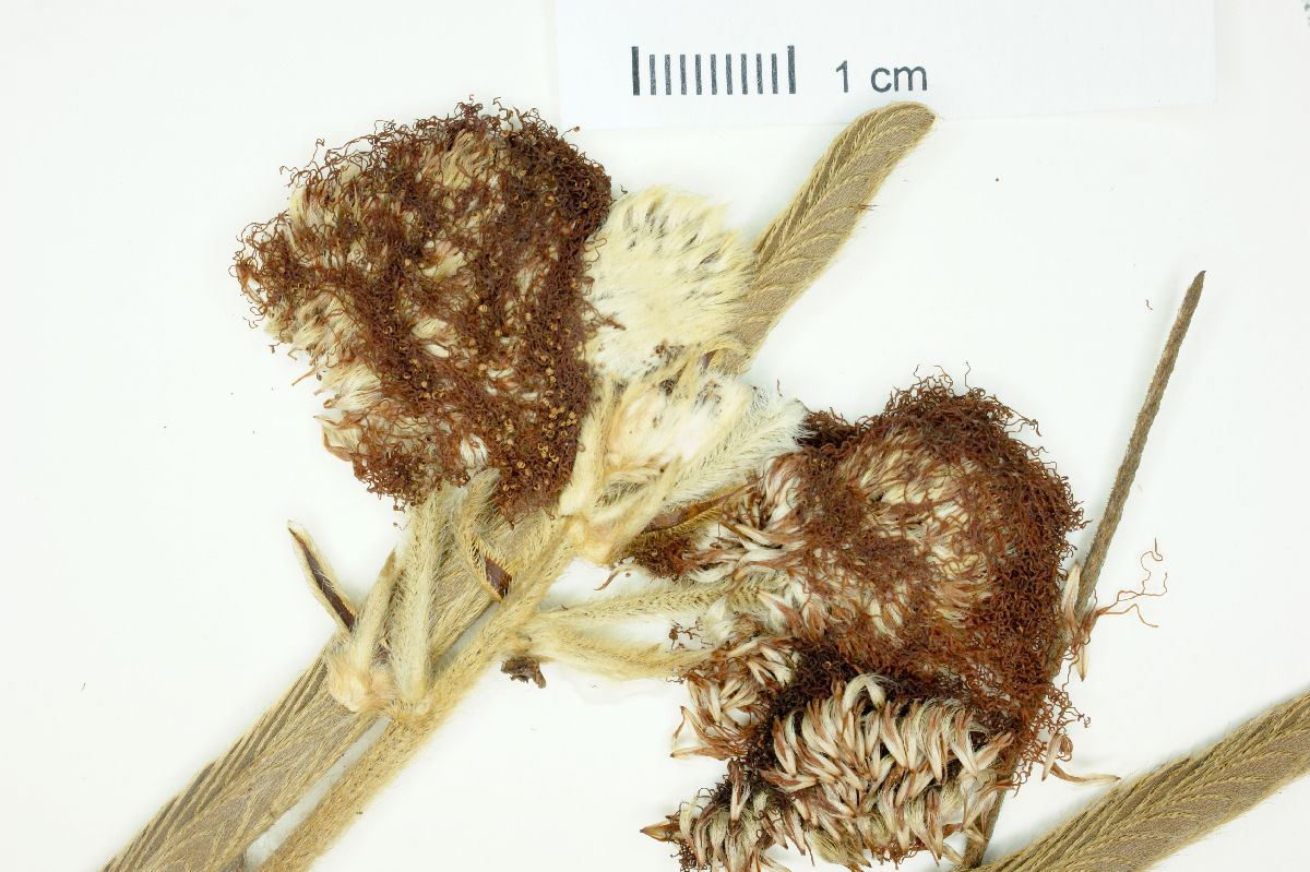 Mimosa callithrix image