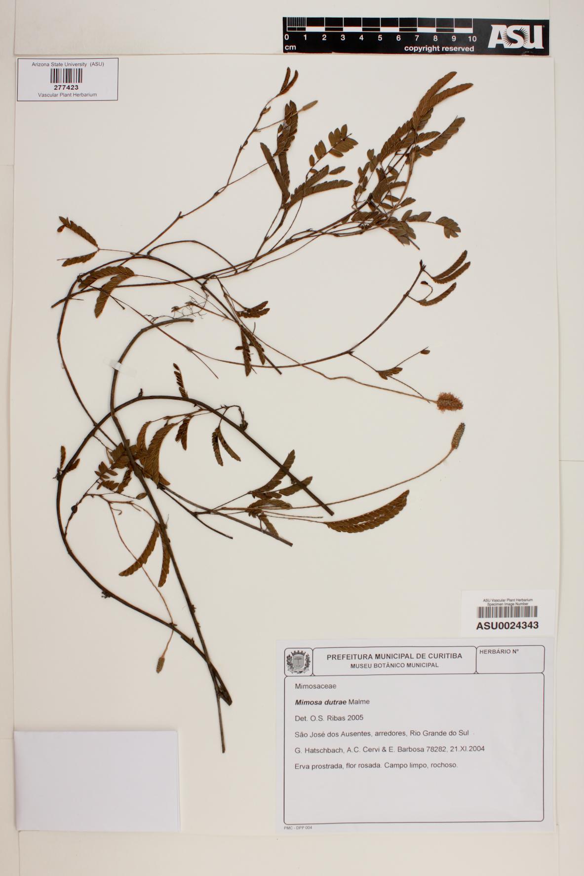 Mimosa dutrae image