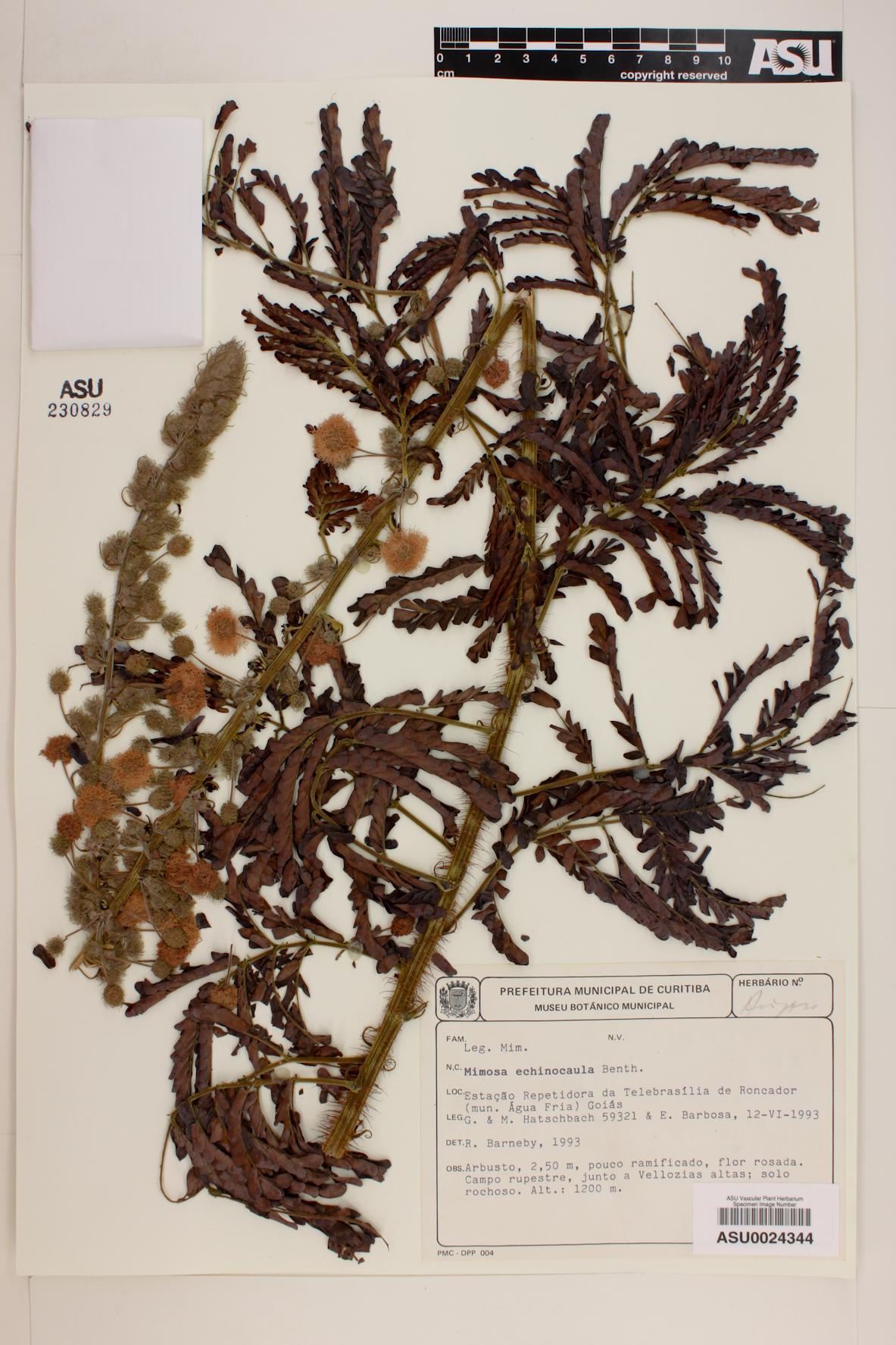 Mimosa echinocaula image