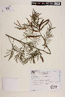 Image of Mimosa gemmulata