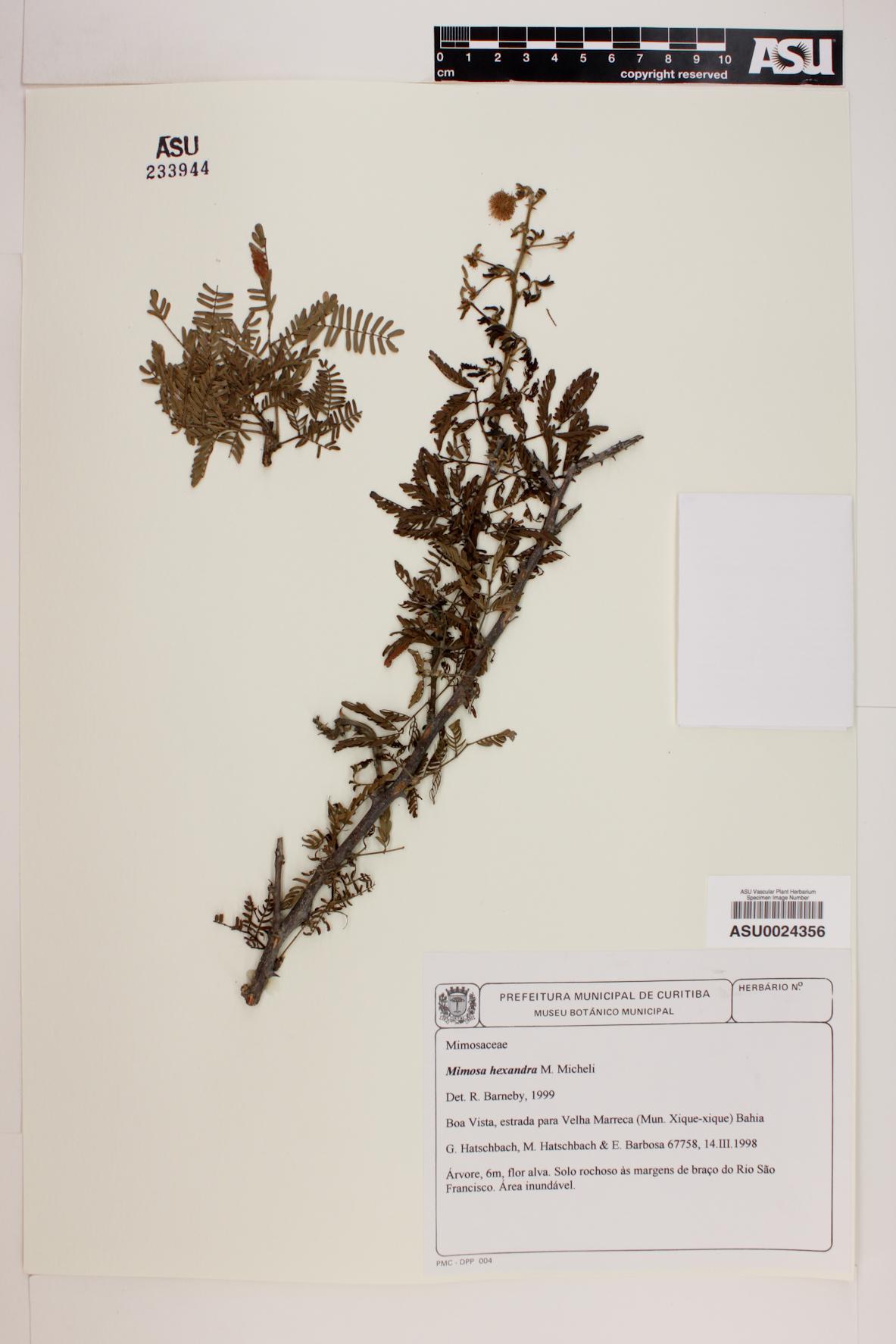 Mimosa hexandra image