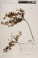 Image of Mimosa lanata