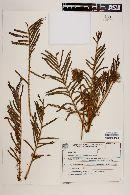 Image of Mimosa longepedunculata