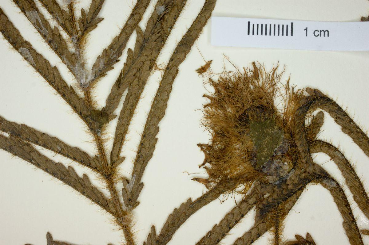 Mimosa longepedunculata image