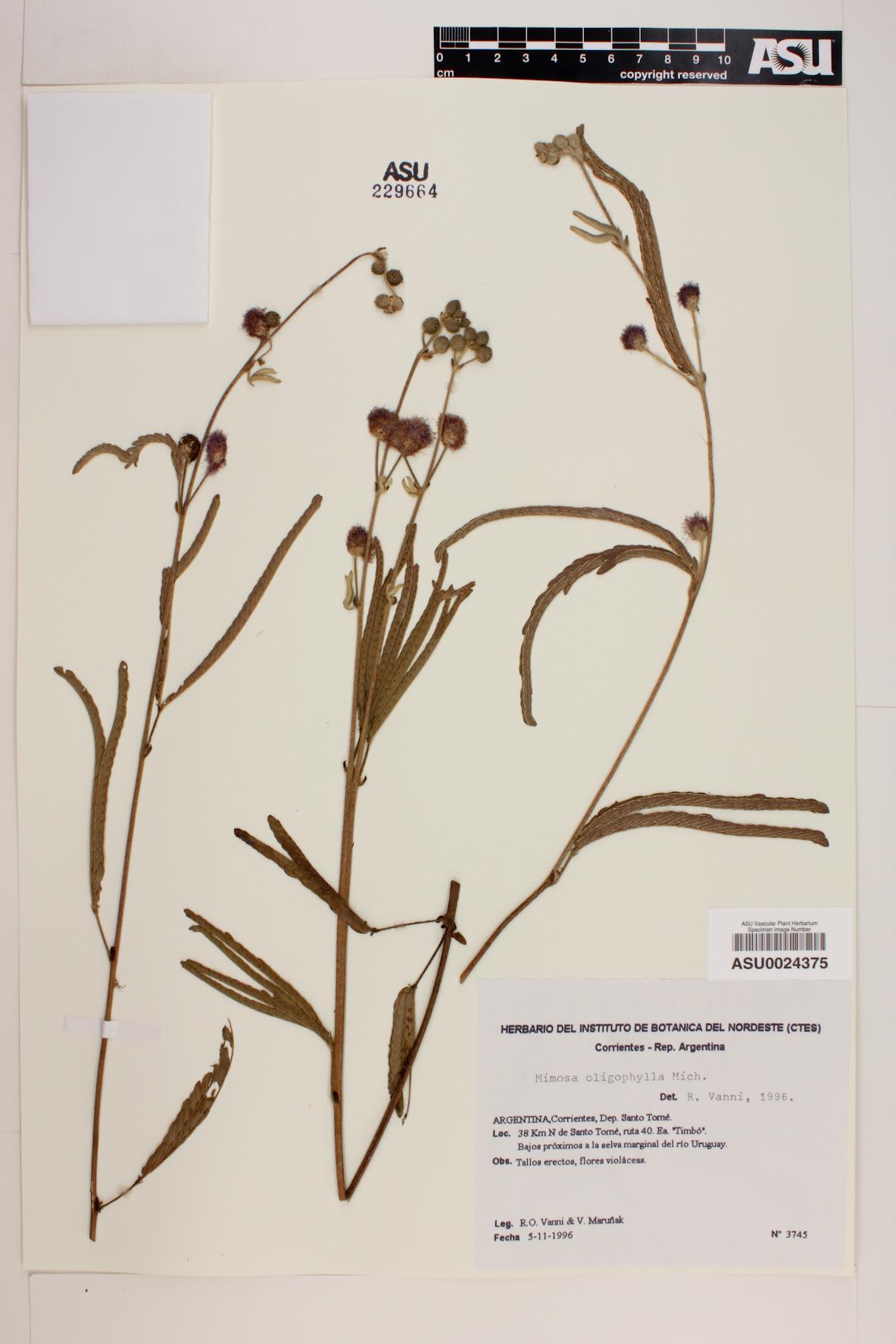 Mimosa oligophylla image