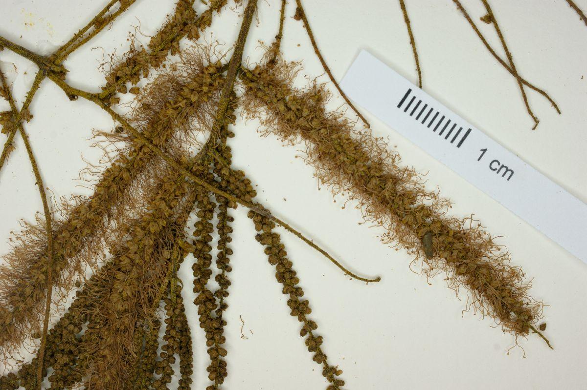 Mimosa pteridifolia image