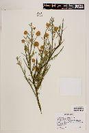 Image of Prosopis globosa