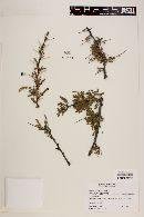 Image of Prosopis palmeri
