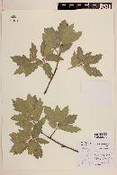 Quercus saltillensis image