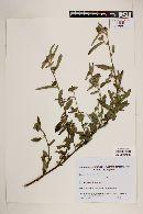 Image of Pavonia betonicifolia