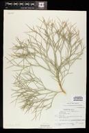 Psorothamnus spinosus image