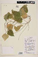 Rhynchosia precatoria image