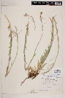 Boechera gracilipes image