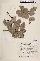 Licania arborea image