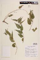 Image of Acalypha pilosa