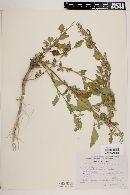 Chenopodium murale image